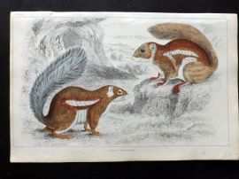 Goldsmith 1851 Hand Col Print. Fire Footed & Hottentot Squirrel 35
